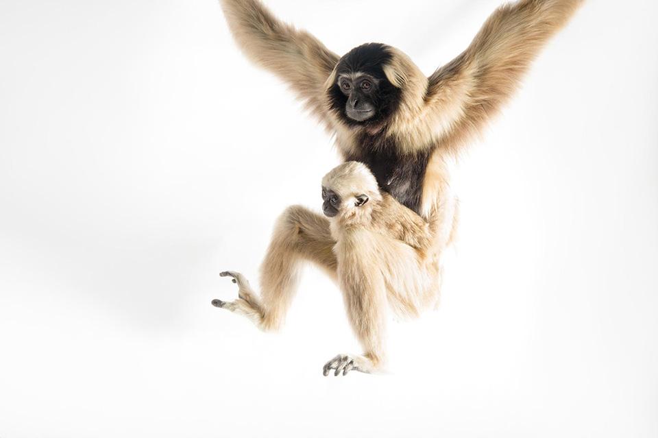 Một con vượn mẹ đang treo người cùng với đứa con 8 tháng tuổi của mình.