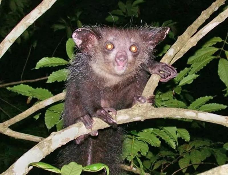 Aye-aye là loài vượn cáo nhỏ sống ở vùng Madagasca