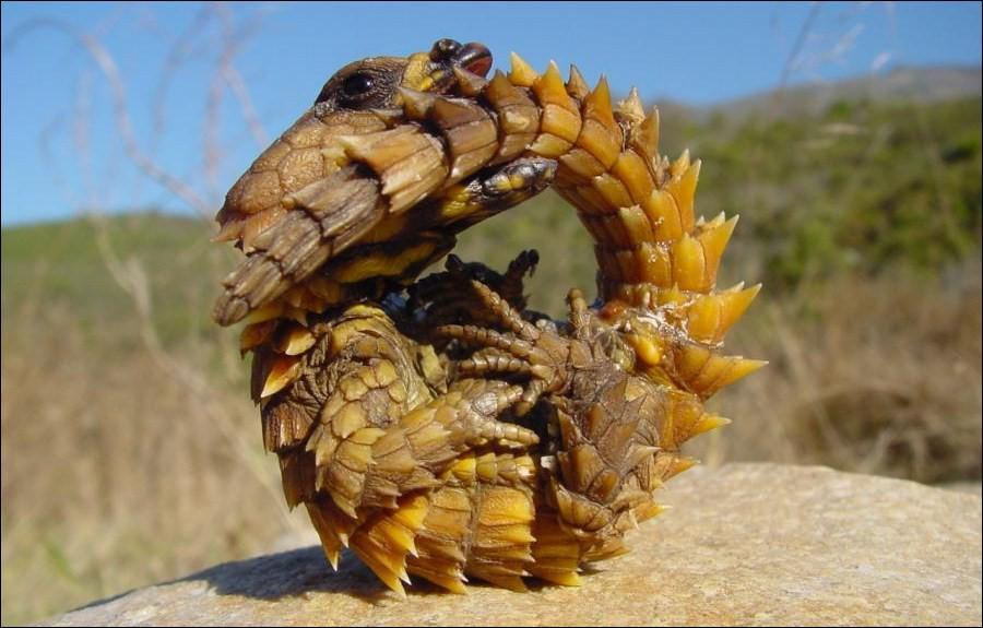 Thằn lằn quỷ gai (Moloch Horridus) là loài động vật bò sát ở Australia.