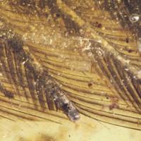 Tìm thấy hóa thạch lông chim 99 triệu năm tuổi bao bọc trong hổ phách