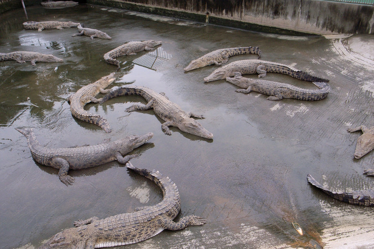 Oniyama Jigoku - địa ngục của cá sấu.