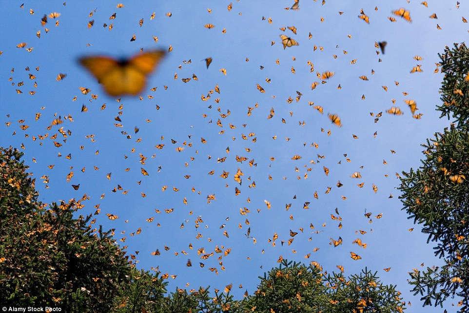 Mỗi năm, hàng trăm triệu con bướm Monarch từ Canada và Mỹ lại vượt chặng đường 4.000 km để tới rừng Michoacan, Mexico, tạo thành chuyến di cư của côn trùng có quy mô lớn nhất trên thế giới.