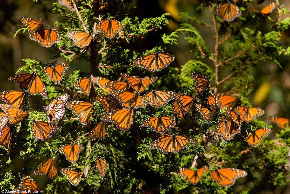 Vô số bướm tụ lại trên cây hoặc mặt đất, biến một diện tích lớn thành thảm màu cam và đen