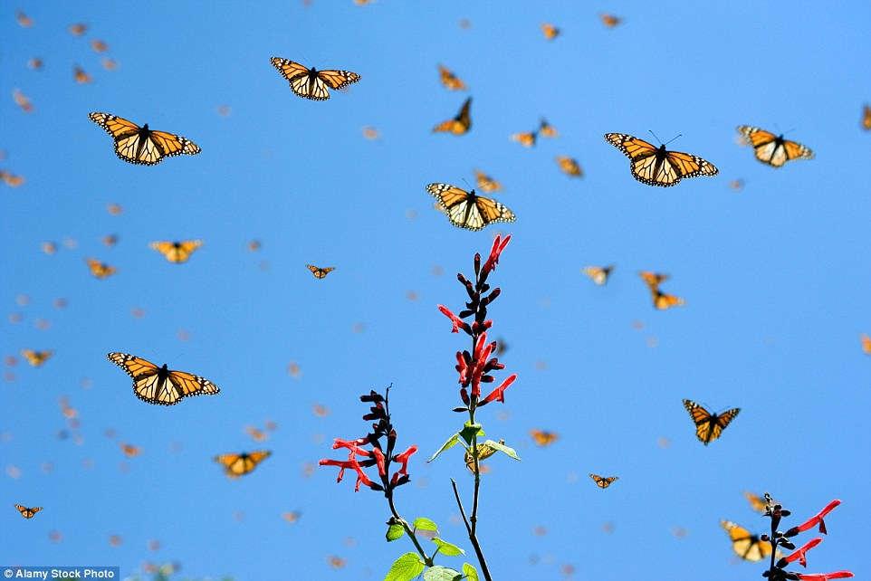 Cuộc di cư của bướm Monarch được xem như một trong những bí ẩn thú vị nhất của thế giới tự nhiên.