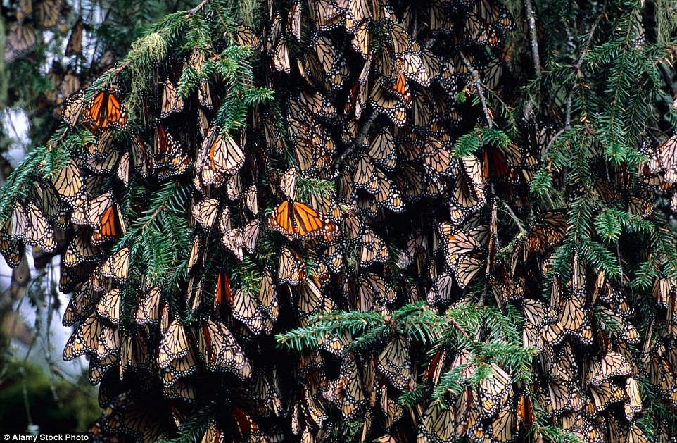 Monarch bắt đầu đến rừng Michoacan vào cuối tháng 10 để trú ẩn trong mùa đông
