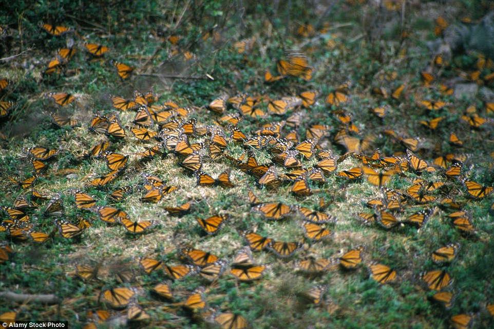 Rừng bướm của Mexico là khu bảo tồn thiên nhiên được pháp luật bảo vệ và cũng là một trong những điểm du lịch nổi tiếng nhất cả nước.