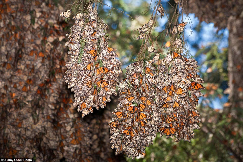 Chỉ một vài tháng trước, mối đe dọa với nơi ẩn náu của loài bướm Monarch đã tăng cao khi Group Mexico, công ty khai thác mỏ lớn nhất cả nước đã được cấp phép trở lại ở Angangueo, một thị trấn tại trung tâm khu dự trữ sinh quyển đã đóng cửa cách đây 25 năm.