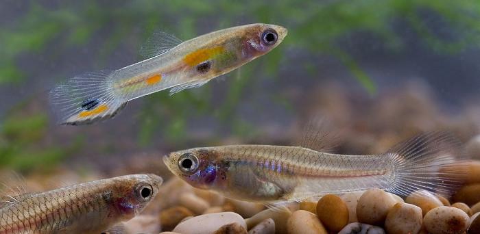 Cá bảy màu con
