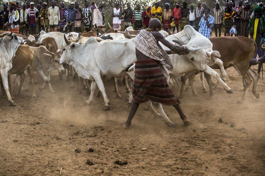 """""""Nhảy bò"""" là một nghi lễ để xác nhận một nam thanh niên Hamar đã sẵn sàng làm người trưởng thành, nhận trách nhiệm kết hôn và nuôi gia đình cũng như có đàn gia súc riêng."""