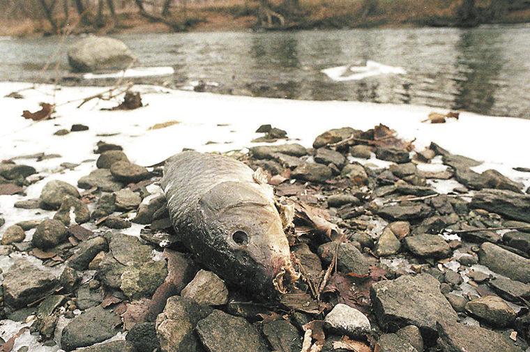 Cá chết trên sông White.