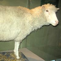 Ngày 5/7: Cừu Dolly, con thú được nhân bản vô tính đầu tiên trên thế giới ra đời