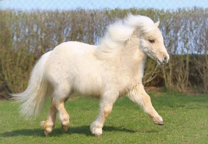 Ngựa Shetland