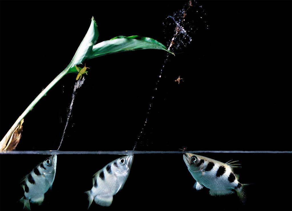 Cá măng rổ là một trong 7 loài cá thuộc chi cá thông minh Toxotes, có khả năng phun nước từ trong miệng vào con mồi có độ chính xác và tốc độ nhanh kinh khủng.
