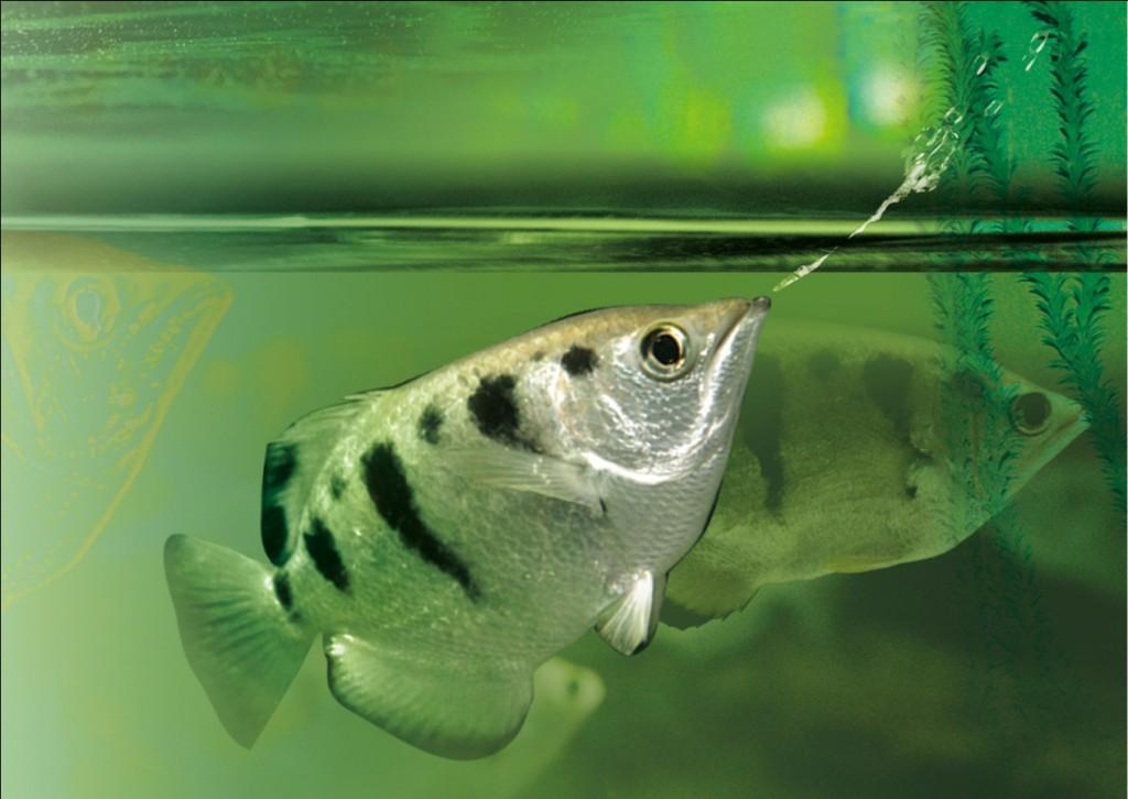 Bằng cách này, các nhà vật lý ở Đại học Milan tin rằng dòng nước được cá măng rổ phun ra có thể tạo ra lực mạnh hơn 5 lần so với lực cơ bắp của động vật có xương sống.
