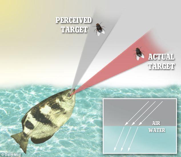 """Hình ảnh mô phỏng khả năng """"tính"""" sai số của cá măng rổ để bắn trúng mục tiêu con mồi."""
