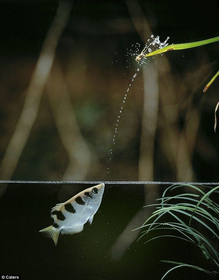 Luồng nước được cá măng rổ phun ra không phải là dạng dòng liền mà là dạng chùm với những giọt nước song sóng giúp cho lực bắn của nước được mạnh mẽ.