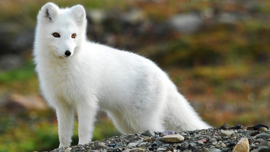 Tên gọi chính thức của loài này là cáo Bắc cực.