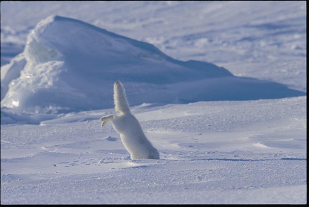 Cáo Bắc cực thường đi săn bằng cách phá vỡ lớp tuyết dày.