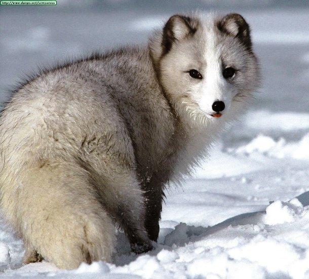 Khi nguồn thực phẩm không có sẵn, cáo Bắc cực có thể làm giảm một nửa tỷ lệ trao đổi chất trong cơ thể để tiết kiệm năng lượng.