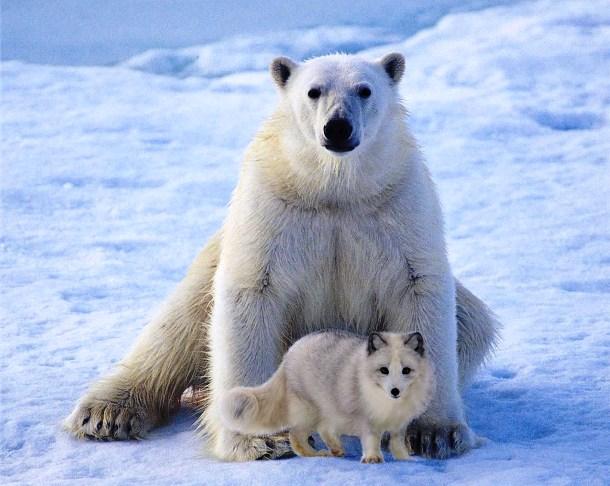 Cáo Bắc Cực thường bị giết thịt bởi gấu Bắc cực nhưng ở Canada, có một trường hợp ghi nhận tình bạn mạnh mẽ giữa hai loài vật này. Chúng chơi với nhau và con gấu khổng lồ thậm chí còn chia sẻ thức ăn của mình với con cáo nhỏ.