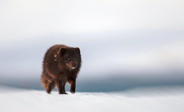 Cáo Bắc cực nổi tiếng với khả năng di cư đường dài, được xếp hạng kỷ lục so với tất cả các loài động vật có vú trên cạn