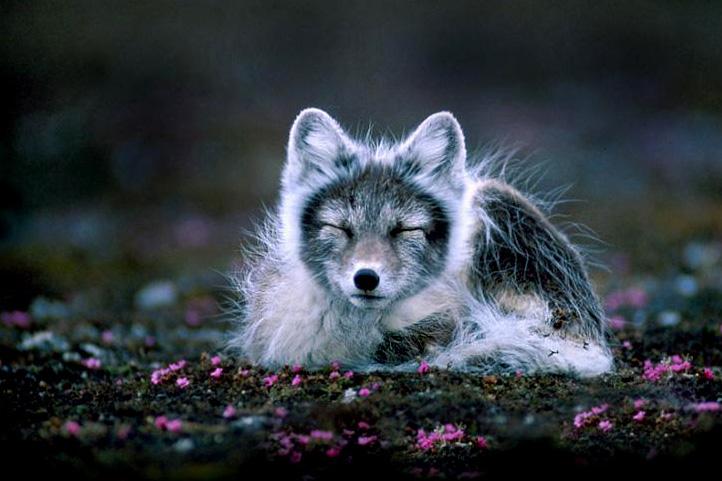 Na Uy, Thụy Điển và Phần Lan, ước tính dân số của loài động vật này còn ít hơn 200 cá thể.