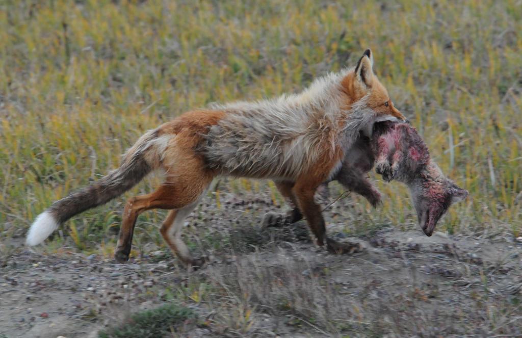Một mối đe dọa đáng lo ngại khác mà loài cáo Bắc cực phải đối mặt là sự bùng nổ dân số của các loài cáo đỏ có ngoại hình to lớn hơn. Sự nóng lên toàn cầu là lý do loài cáo đỏ di chuyển dần về phía bắc và chiếm khu vực từng thuộc về loài cáo Bắc cực.