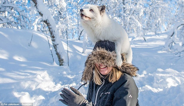Tuổi thọ của loài cáo Bắc cực sống trong hoang dã thường chỉ từ 3-6 năm, nhưng trong điều kiện nuôi nhốt, nó có thể sống lâu tới 15 năm.