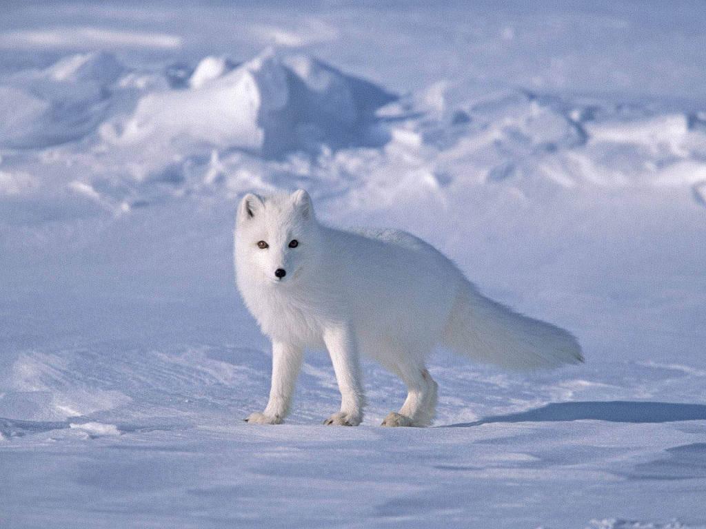 Theo phân loại khoa học, cáo Bắc cực thuộc gia đình sói, nhưng trái ngược với loài chó sói, cáo Bắc cực thường sống lang thang cô đơn.