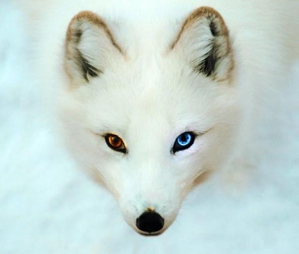 Cáo Bắc cực có đôi mắt có rất nhiều sắc tố giúp bảo vệ chúng khỏi ánh nắng chói gắt trên băng và tuyết, đôi khi, nó có thể bị loạn sắc, tạo ra đôi mắt có màu khác nhau.