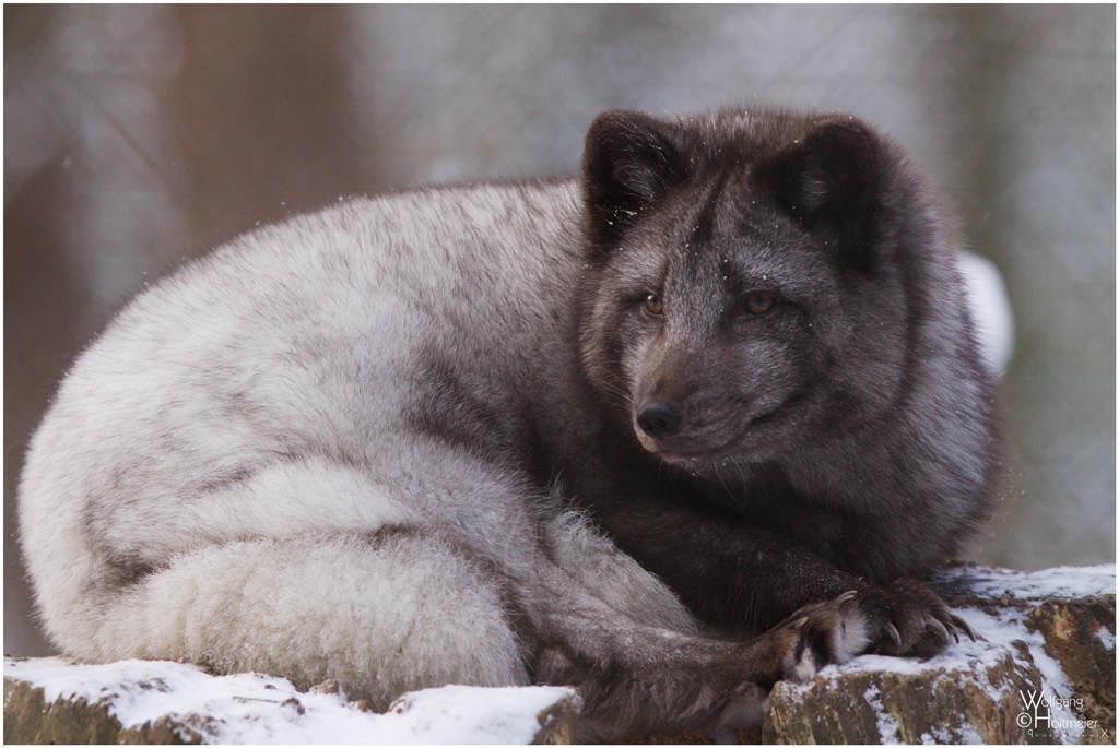 Các nghiên cứu chỉ ra rằng loài cáo Bắc cực sống ở những vùng tuyết là không hoàn toàn chỉ có màu trắng, lông của chúng còn có thể có màu xám của tuyết.