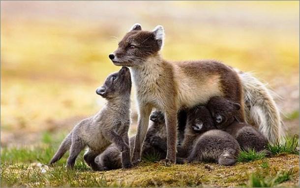 Tùy thuộc vào nguồn thực phẩm sẵn có, cáo mẹ thường có 5-10 đứa con nhưng ở những nơi có thức ăn phong phú, loài này có thể có đến 25 con con trong 1 đàn.