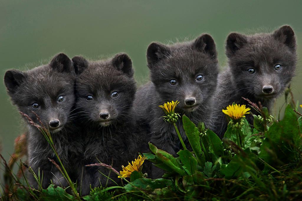 Những con cáo con phải lớn lên rất nhanh và tìm cách dự trữ chất béo vì mùa hè ở vùng cực là rất ngắn