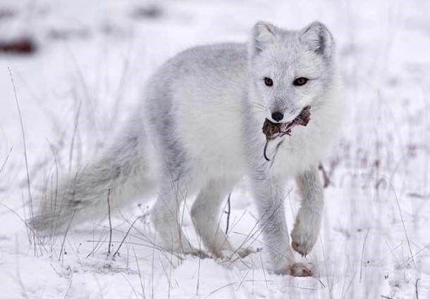 Cáo Bắc cực là loài ăn tạp, ăn hầu như bất cứ thứ gì chúng có thể tìm thấy