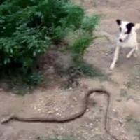 Video: Đôi chó hợp sức cắn đứt đôi rắn 1,5 mét để cứu chủ
