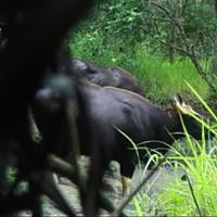 Phát hiện đàn bò tót 4 con ở Đắk Lắk