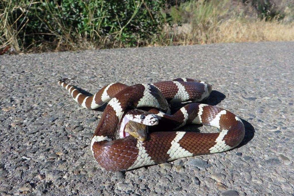Con rắn vua đã dùng thân quấn chặt lấy con thằn lằn. Thế nhưng thay vì nuốt đầu con thằn lằn trước thì nó lại quyết định nuốt phần đuôi của con thăn lằn.