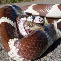 Thằn lằn bị nuốt vào bụng vẫn thò đầu cắn lại rắn