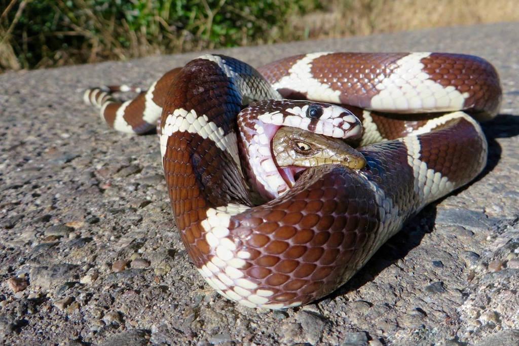 Với hàm răng chắc khỏe, kẻ săn mồi rắn vua đã nhanh chóng nuốt gần hết toàn bộ con thằn lằn lớn. Nhưng bất ngờ con thằn lằn há miệng cắn vào mình con rắn vua.