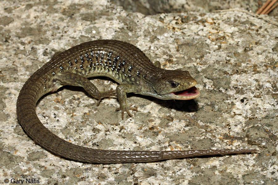 Bị con mồi tấn công trong tình huống quá khó xử, con rắn vua không thể nào nuốt tiếp được. Thằn lằn đã nhanh chóng tẩu thoát.
