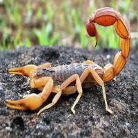 Đôi điều thú vị về bọ cạp