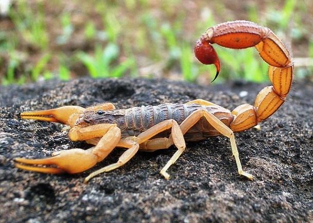 Các nhà khoa học phát hiện có tới 1.750 loài bọ cạp khác nhau với 13 họ