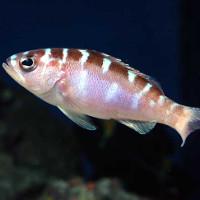 Loài cá thay đổi giới tính 20 lần một ngày
