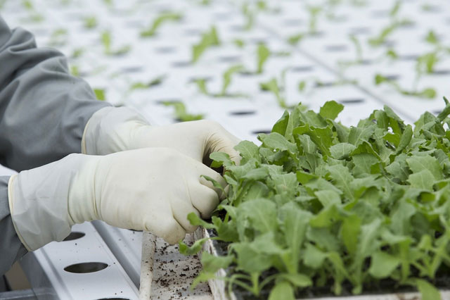 Rau được nông dân kiểm tra đạt kích thước sẽ được đặt vào trồng trong đường ống.