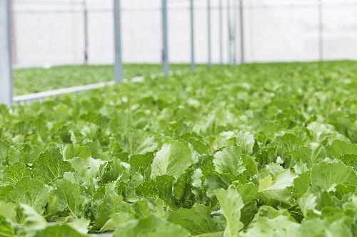 Bắt đầu từ câu chuyện thần kỳ về sức mạnh công nghệ chiến thắng thiên nhiên của Israel, những loại rau độc đáo do VinEco nhận chuyển giao và sở hữu đã dần được hé mở.