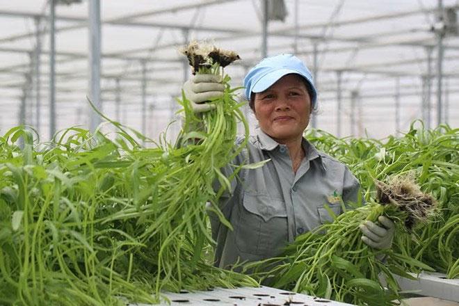 Việc thu hoạch rau của nông dân khi áp dụng công nghệ nhà kính chỉ đơn giản là nhấc cây ra khỏi đường ống thủy canh.