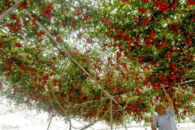 Vòm lá xum xuê với hàng ngàn quả cà chua.