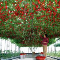"""Giống cà chua """"cực mắn"""" cho ra hàng chục ngàn quả một cây"""
