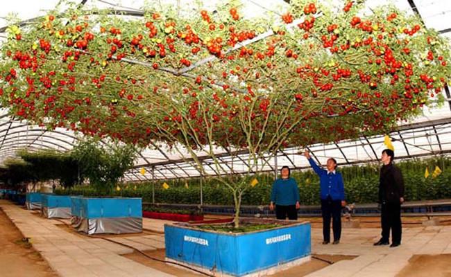"""Nguồn gốc của cây cà chua """"bạch tuộc"""" có thể đến từ Trung Quốc."""