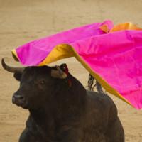 Thảm cảnh của bò tót trong những trận đấu